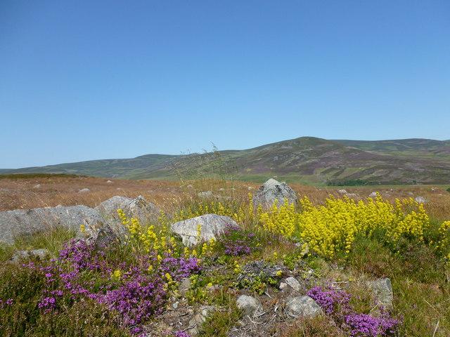 Purple heather and yellow saxifrage
