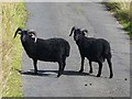 NY8093 : Two diminutive black rams at Gibshiel by Oliver Dixon