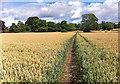 SE7971 : Path through a field of wheat by Pauline E