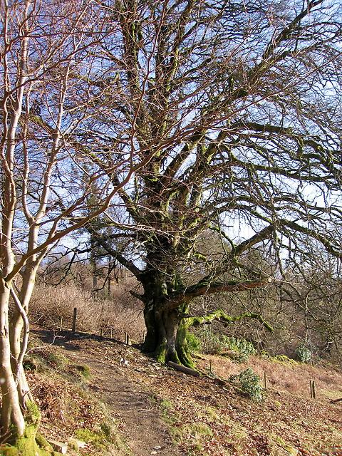 Ancient tree, Hafod estate