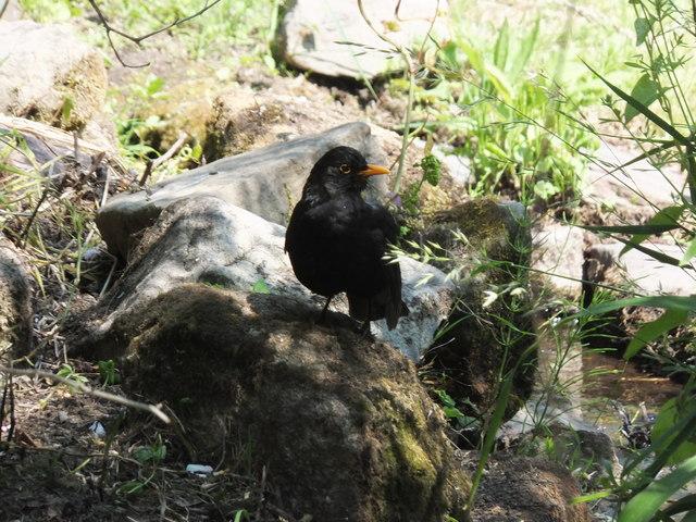 Blackbird at Inveresk