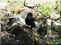 NT3471 : Blackbird at Inveresk by Barbara Carr
