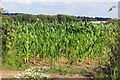 SP4503 : A field of maize by Eaton by Steve Daniels