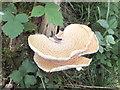 NZ2186 : Bracket fungus by Barbara Carr