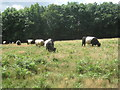 SO6920 : Belted Galloways on May Hill by Jonathan Thacker
