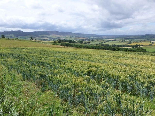 Wheat in the foreground