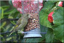 SJ3999 : Greenfinch (Chloris chloris), Melling by Mike Pennington