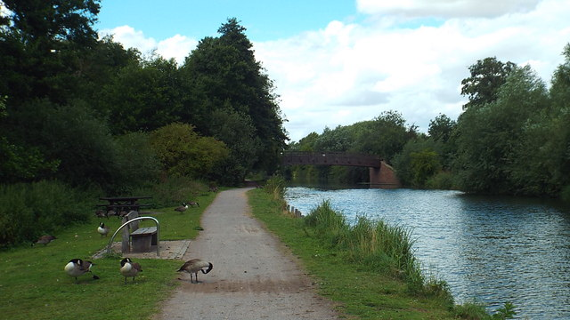 Geese on the towpath, near Ware