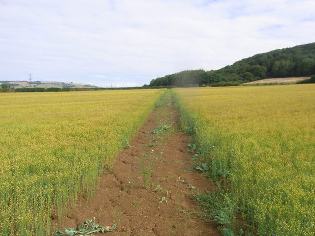 Through the linseed towards Washbourne Hill