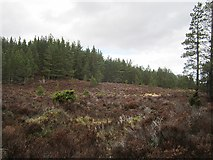 NH9108 : Rothiemurchus Forest by Richard Webb