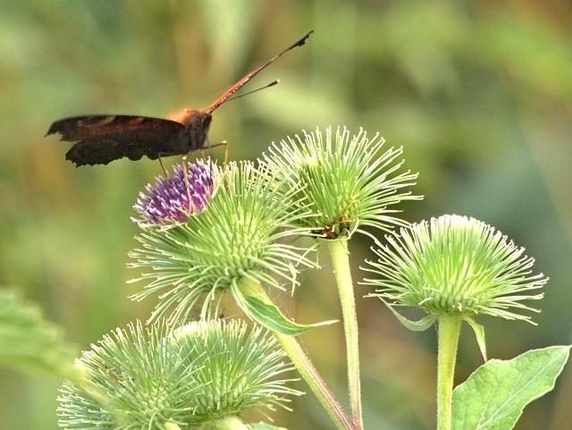Peacock Butterfly Feeding