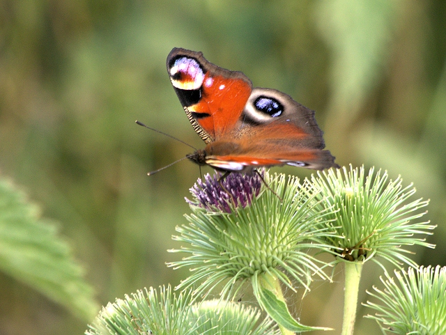 Peacock Butterfly