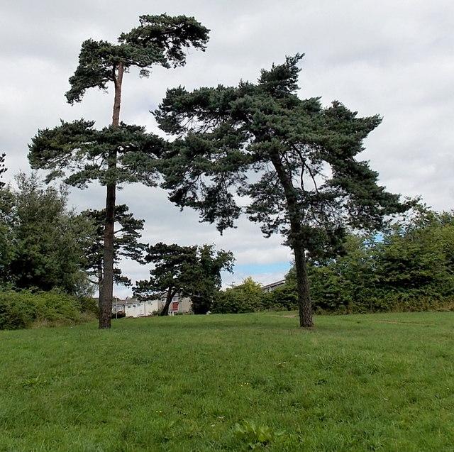 Straight conifer and bent conifer, Pentwyn, Cardiff