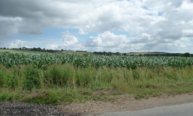 Corn [maize] field, north-east of Chapel Lane