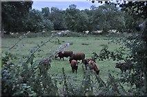 ST0209 : Mid Devon : Grassy Field & Cattle by Lewis Clarke