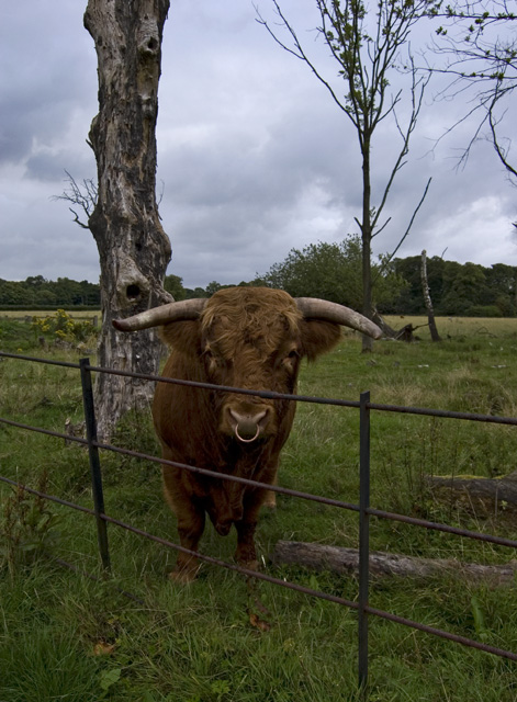 Bull in Croxteth Country Park
