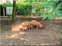 SP2556 : The Pig Pen, Charlecote Park by David Dixon