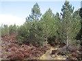 NJ0019 : Path, Abernethy Forest by Richard Webb