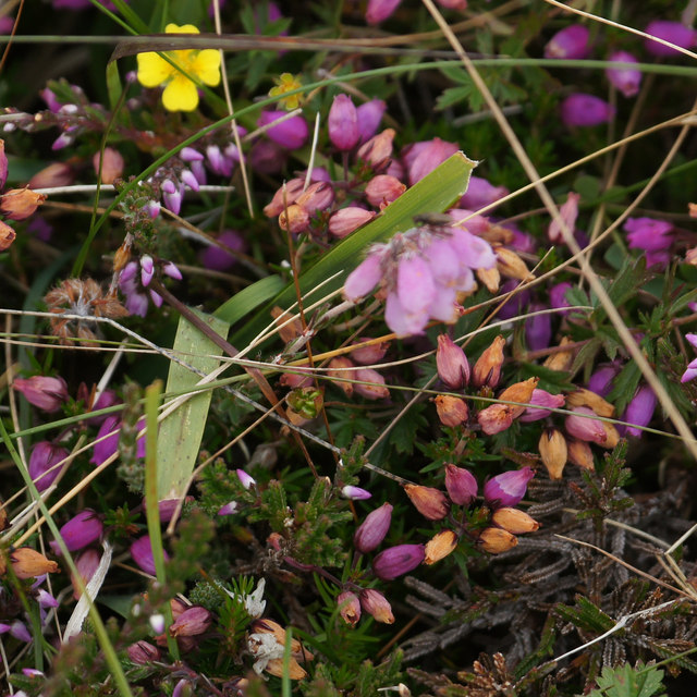 Three species of heather, Baltasound