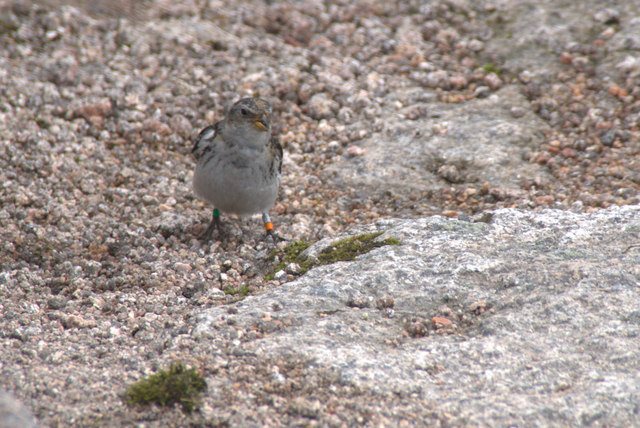 Colour-ringed Snow Bunting (Plectrophenax nivalis) on the summit of Cairn Gorm