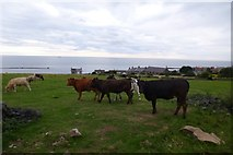 NU2520 : Cows near Craster by DS Pugh