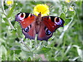 ST7310 : Peacock butterfly, Alners Gorse by Ian Andrews