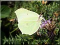 ST7310 : Brimstone, Alners Gorse by Ian Andrews