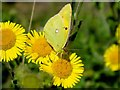 ST7310 : Clouded Yellow, Alners Gorse by Ian Andrews