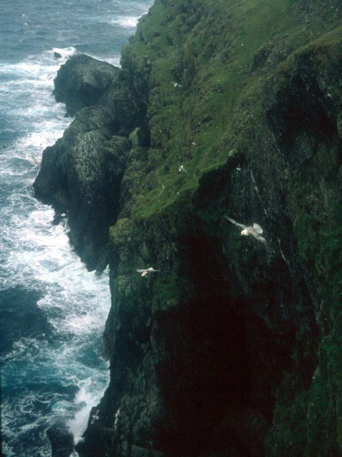 Fulmars wheel in the up-draught on the cliffs of Bressay