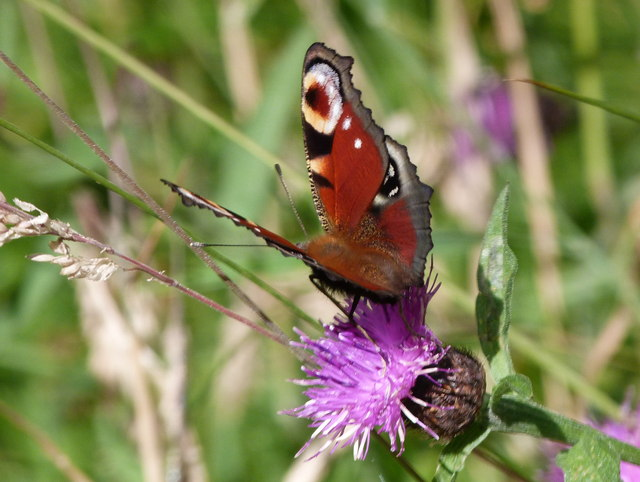 Peacock on knapweed