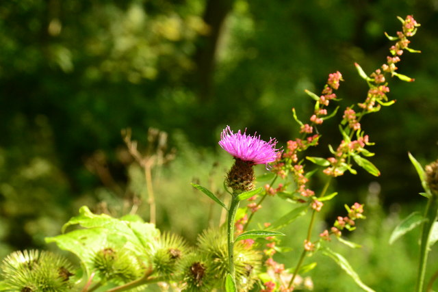 Thistle on the banks of the River Bradford