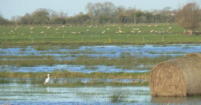Egret on Tealham Moor in winter floods