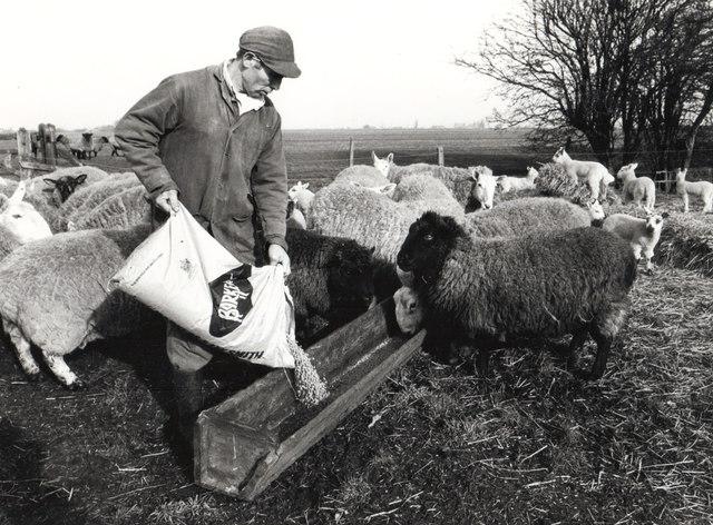 Feeding the sheep - Seadyke Farm, Wisbech St Mary