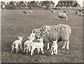 TF4008 : Sheep and lambs - Seadyke Farm, Wisbech St Mary by The Humphrey family archive