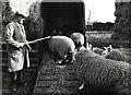 TF4008 : Loading sheep - Seadyke Farm, Wisbech St Mary by The Humphrey family archive
