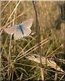 TQ1450 : Butterflies at Ranmore (2): Chalkhill Blue (Lysandra coridon) by Stefan Czapski
