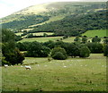 SN9723 : Sheep grazing in Glyn Tarell by Jaggery