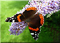 NS3206 : Red Admiral on Buddleia by Mary and Angus Hogg