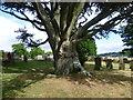 TQ7038 : Old beech tree in St Margaret's Churchyard, Horsmonden by Marathon