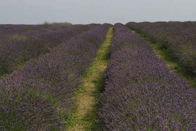 Lavender growing, Mayfield Farm