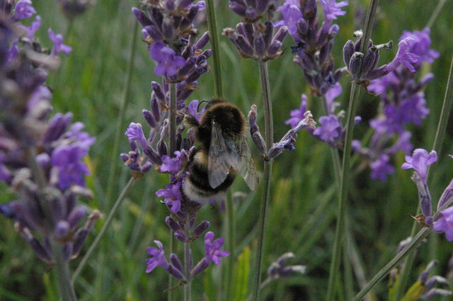 Bumblebee and lavender, Mayfield farm