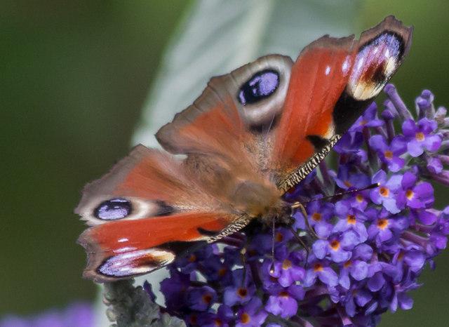 Peacock Butterfly on Buddleia, London N14
