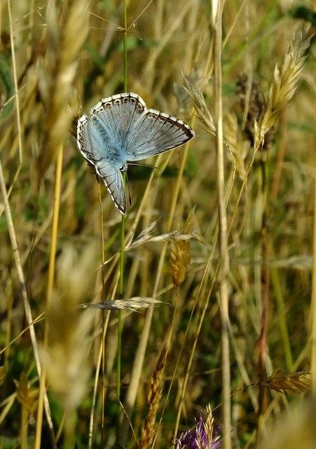 Butterflies at Ranmore (5): Chalkhill Blue (Lysandra coridon)
