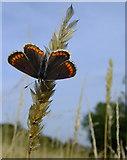 TQ1450 : Butterflies at Ranmore (6): Brown Argus (Aricia agestis) by Stefan Czapski