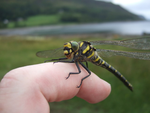 Golden-Ringed Dragonfly, Carsaig Bay