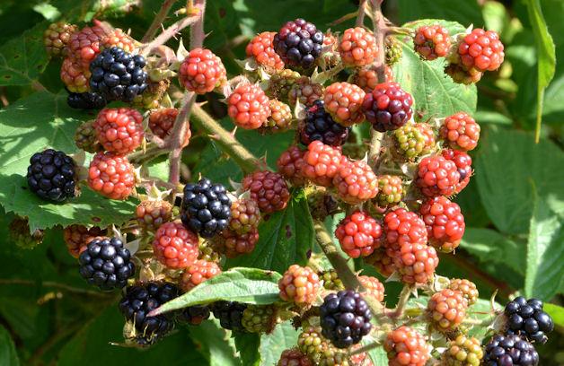 Blackberries, Saintfield (2)