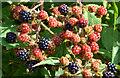 J4158 : Blackberries, Saintfield (2) by Albert Bridge