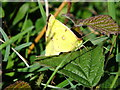 SY5497 : Mating Clouded Yellows by Ian Andrews