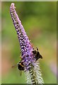 NT7034 : Bumble bees at Floors Castle Gardens by Walter Baxter