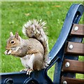 SJ9295 : Squirrel in Victoria Park by Gerald England